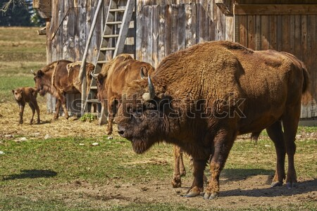 European bison female and her calf Stock photo © photosebia