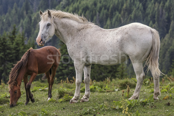 Roan white mare with her foal Stock photo © photosebia