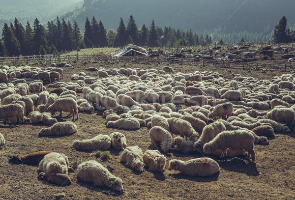 Birka pihen sereg felfelé hegyek Romania Stock fotó © photosebia