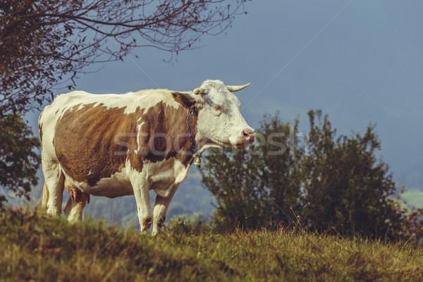 Brun vache cloche Roumanie Photo stock © photosebia