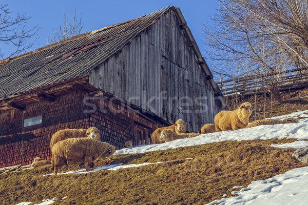 Wooden hut and grazing sheep Stock photo © photosebia