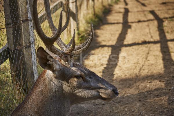 Red deer male head Stock photo © photosebia