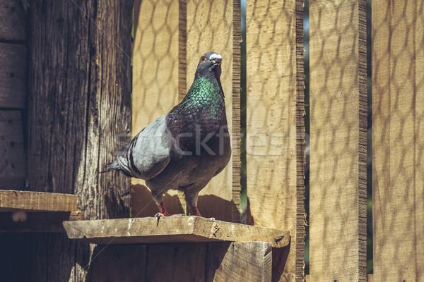 Galamb szürke férfi kész légy el Stock fotó © photosebia