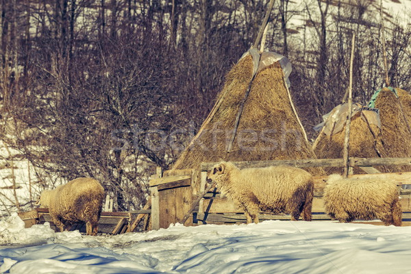 Sheep and haystacks in winter Stock photo © photosebia
