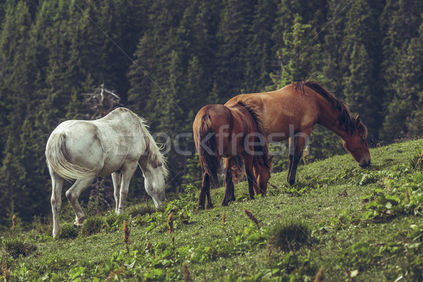 Herd of grazing horses Stock photo © photosebia