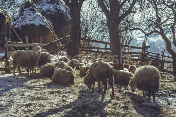Sheep resting in a fold Stock photo © photosebia