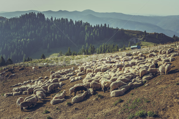 Flock of sheep in sheep pen Stock photo © photosebia