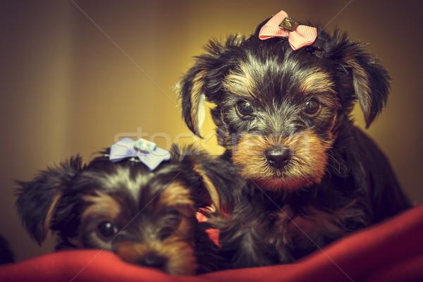Foto stock: Dos · yorkshire · terrier · perro · cachorros · curioso