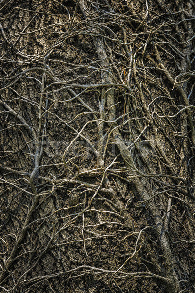 Twining leafless creeping branches Stock photo © photosebia