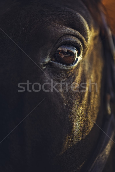 Alert horse eye Stock photo © photosebia