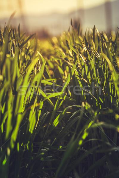 Zöld rozs mező alulról fotózva közelkép fiatal Stock fotó © photosebia