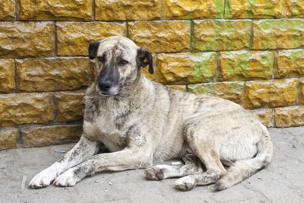 Evsiz kirli köpek duvar sokak Stok fotoğraf © photosebia