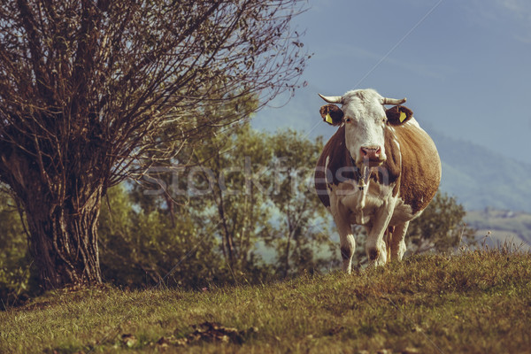 Barna holland fajta tehén kíváncsi harang Stock fotó © photosebia