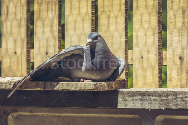 Racing pigeon hen Stock photo © photosebia
