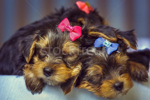 Foto stock: Dormir · yorkshire · terrier · perro · cachorros · dos