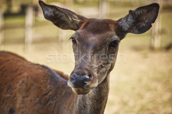 любопытный оленей портрет европейский Сток-фото © photosebia