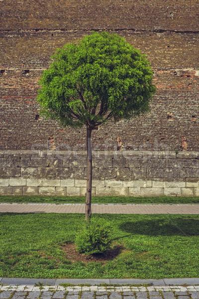 Ornamental tree and medieval brick wall Stock photo © photosebia