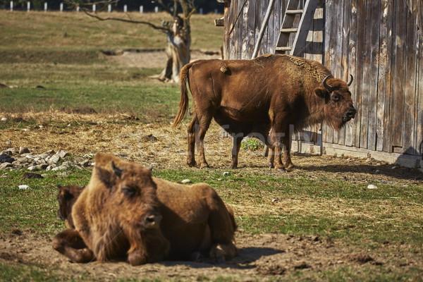European bison females and calves Stock photo © photosebia