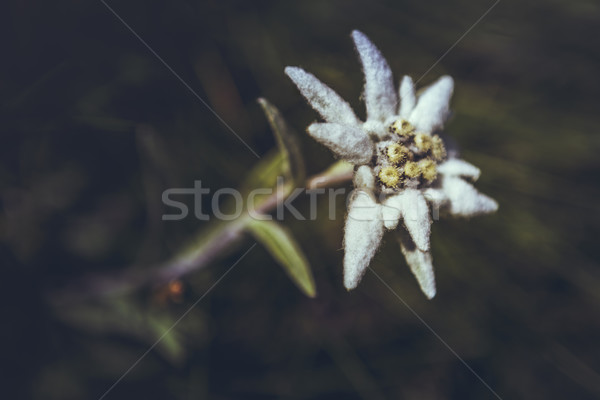 Edelweiss flower Stock photo © photosebia