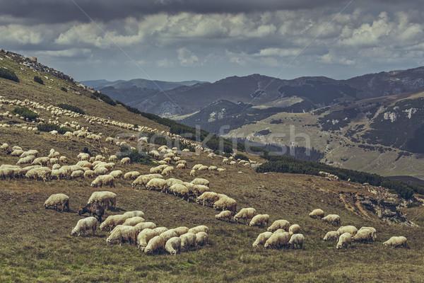 Sereg birka alpesi testtartás hegyek Romania Stock fotó © photosebia