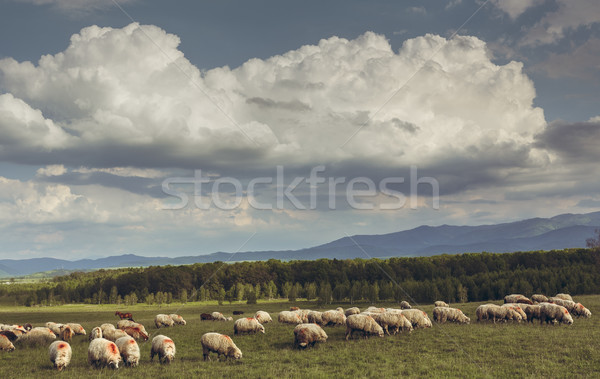 Grazing flock of sheep Stock photo © photosebia