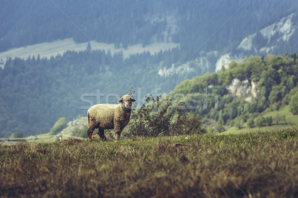 Stock photo: One curious stray sheep
