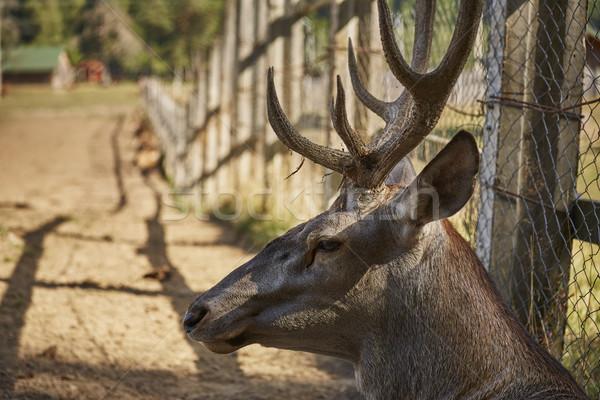 Red deer stag portrait Stock photo © photosebia