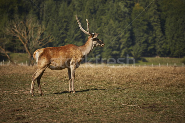 Alert red deer hart Stock photo © photosebia