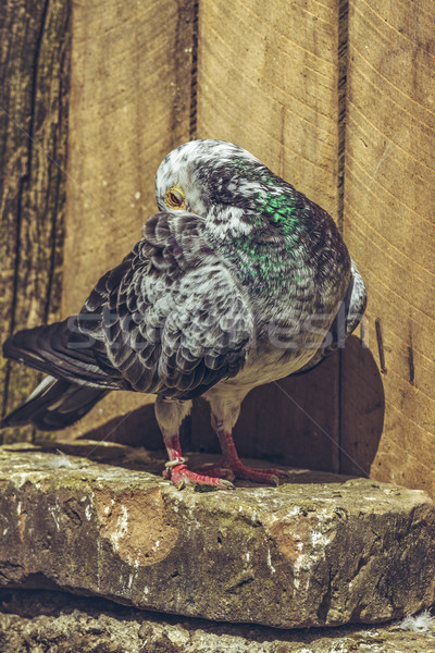 Grey spotted racing pigeon Stock photo © photosebia