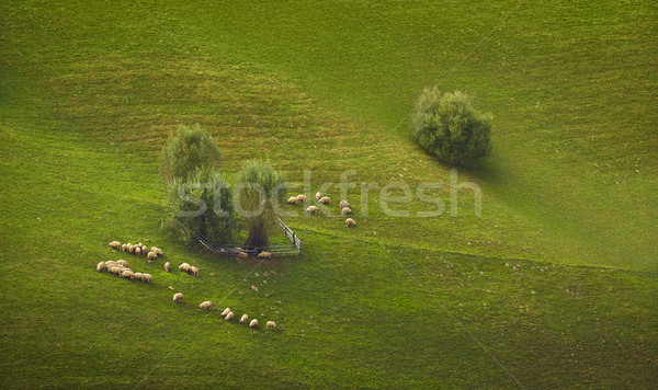 Flock of grazing sheep Stock photo © photosebia