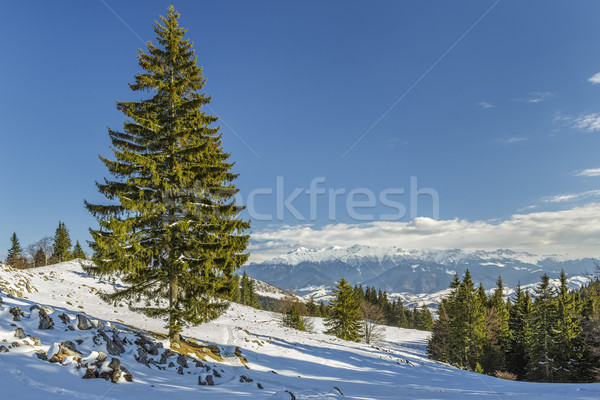Solitary fir tree in winter Stock photo © photosebia