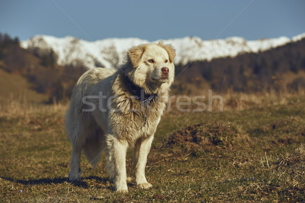 Vigilant white furry sheepdog Stock photo © photosebia