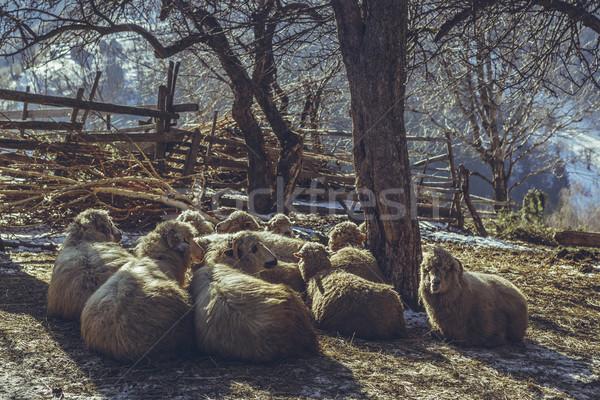Pihen birka sereg rusztikus tél reggel Stock fotó © photosebia