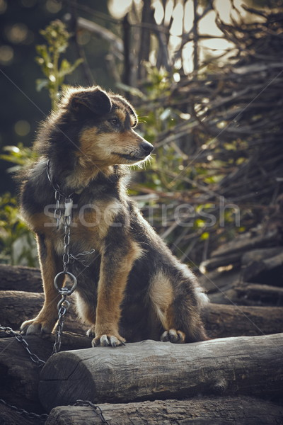 Miserable dog Stock photo © photosebia