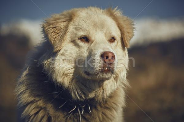 Attentif blanche chien de berger portrait métal Photo stock © photosebia