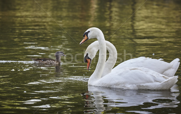 White swans pair Stock photo © photosebia