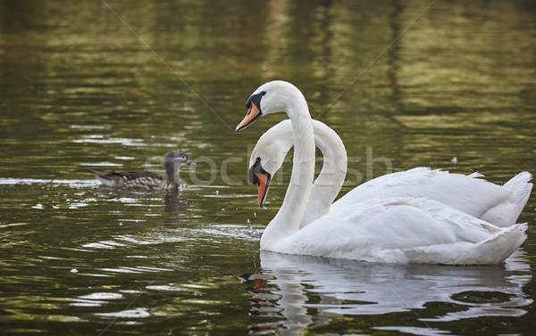 白 ペア ミュート 湖 儀式 ストックフォト © photosebia
