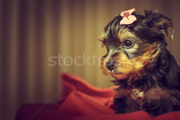 ヨークシャー テリア 子犬 肖像 愛らしい 犬 ストックフォト © photosebia