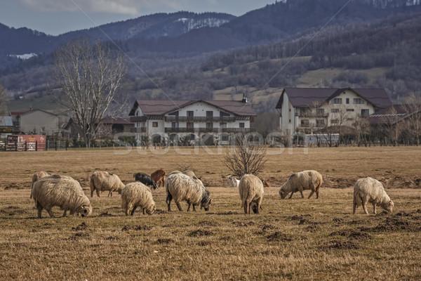 Grazing sheep Stock photo © photosebia