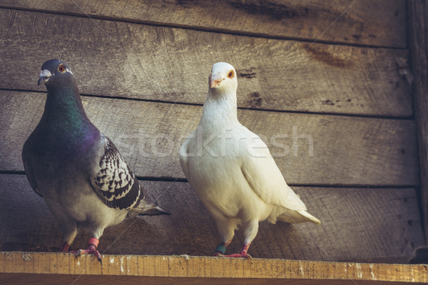 Homing pigeons in wooden loft Stock photo © photosebia