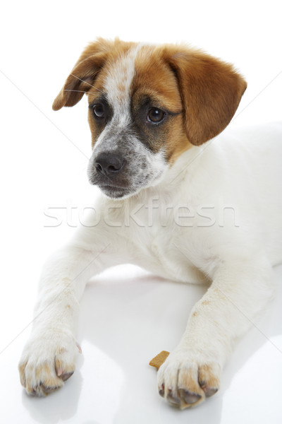 Attentive puppy Stock photo © photosebia