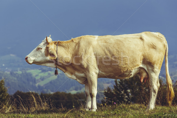 Cow with bell on neck Stock photo © photosebia
