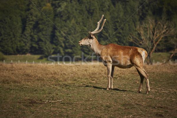 Alert red deer hart Stock photo © photosebia