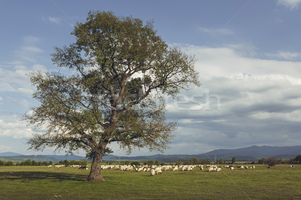 Stock photo: Grazing herd of sheep