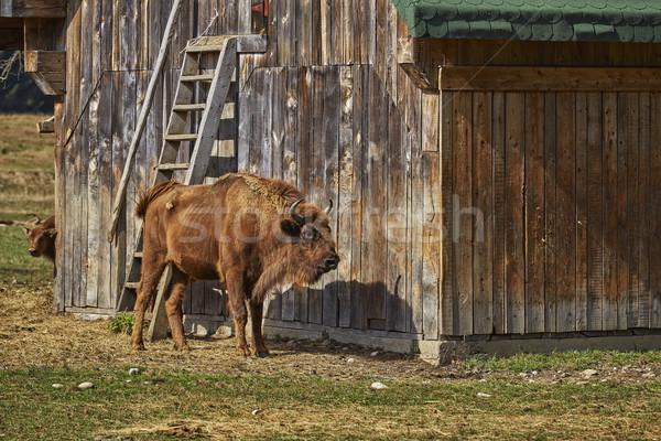 Europeo bisonte femenino granero Foto stock © photosebia