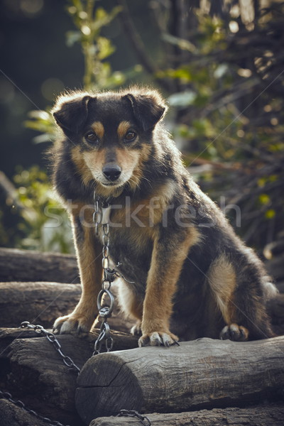 Curious miserable dog Stock photo © photosebia