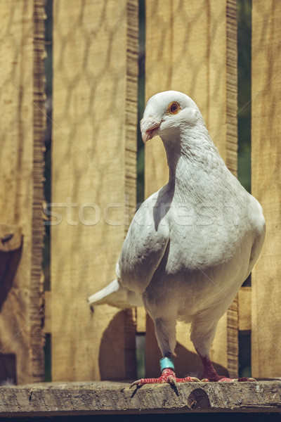 White German beauty homer pigeon Stock photo © photosebia