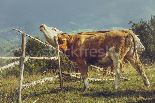 органический разведение коричневый молодые бык место Сток-фото © photosebia