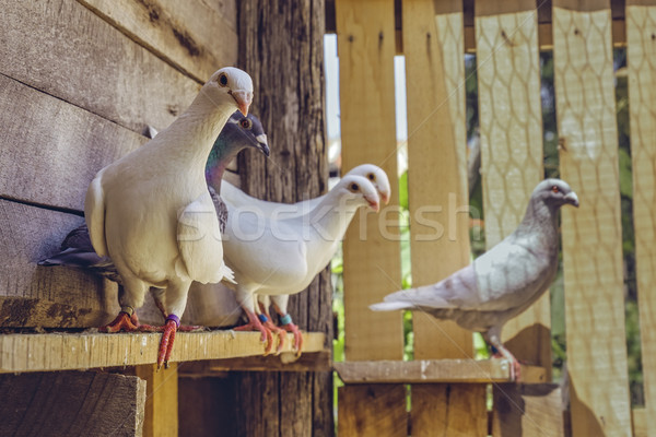 Homing pigeons in wooden coop Stock photo © photosebia