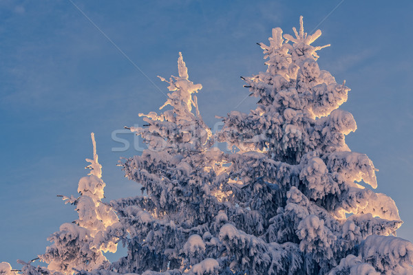 Winter fir trees Stock photo © photosebia